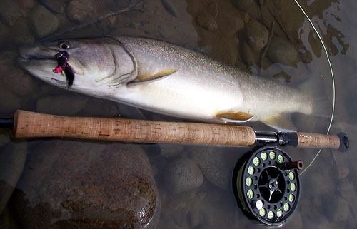 Bull Trout - Photo by Dustin Kovacvich