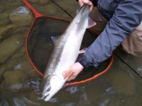 Kalum River Steelhead