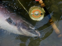 Fishing gear: Islander FR4, 9143 Burkheimer Spey Rod, Rio fly line, Maxima tippet. The right stuff for the right job